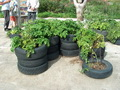 Produciendo papas en neumaticio - Growing poteroes in tires